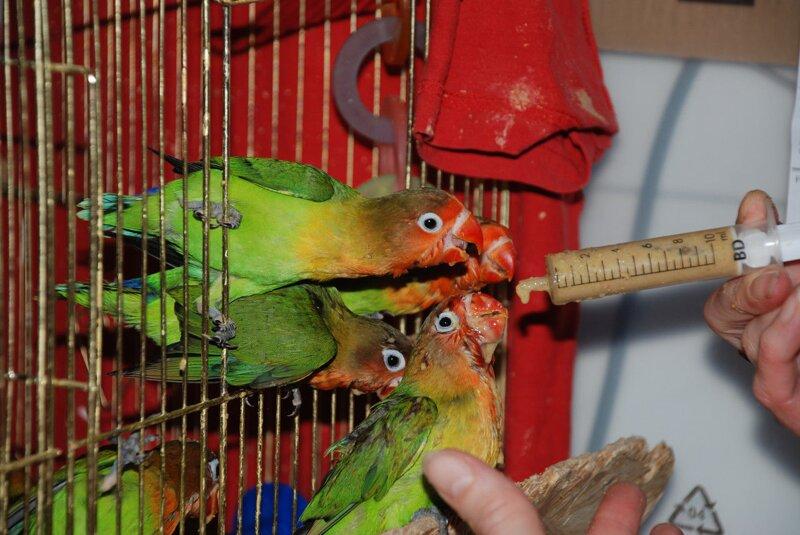 Сколько живут неразлучники попугаи в домашних условиях 267