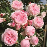 Саженцы розы купить кривой рог живые цветы магазин брянск