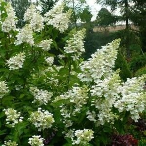 Гортензія волотиста 'White Lady' / Hydrangea paniculata 'White Lady' Р9 в Киевской области от компании Ворзель Сад