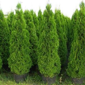 Туя західна 'Brabant' / Thuja occidentalis 'Brabant' Р9 в Киевской области от компании Ворзель Сад