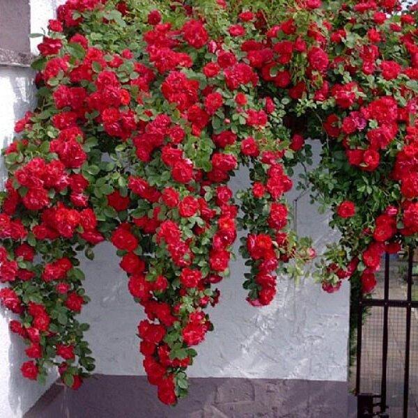 Саженцы плетистых (вьющихся ) роз Амадеус купить в Запорожье ...