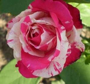 Тюльпаны фото купить саженцы роз в запорожье доставка шариков и цветов в городе щелково